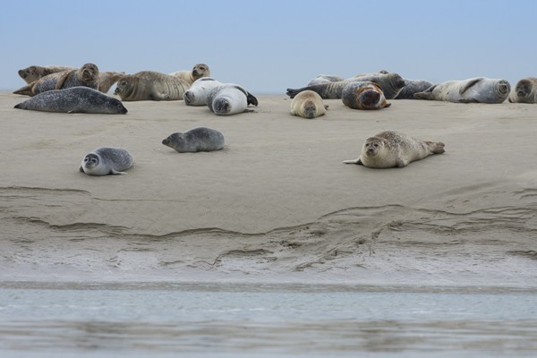 Bay of the Somme - seals- Crotoy - Hourdel