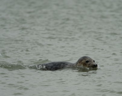 Somme bay - seals